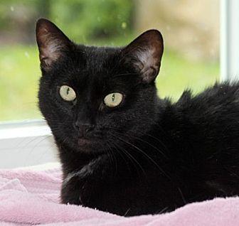 Domestic Shorthair Cat for adoption in Harrison, New York - Sunflower