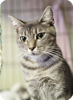 Domestic Shorthair Cat for adoption in Winston-Salem, North Carolina - Susan