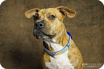 Pit Bull Terrier Mix Puppy for adoption in Cliffside Park, New Jersey - CLANK