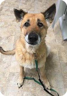 German Shepherd Dog Dog for adoption in Kansas City, Missouri - Charlotte