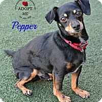 Adopt A Pet :: Pepper - Youngwood, PA