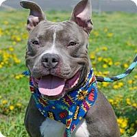 Adopt A Pet :: Hank the Tank - Philadelphia, PA