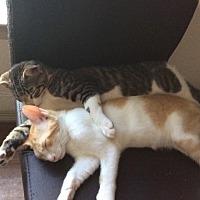 Adopt A Pet :: Micius - Tampa, FL