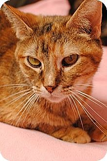 Domestic Shorthair Cat for adoption in Dallas, Texas - MARIGOLD