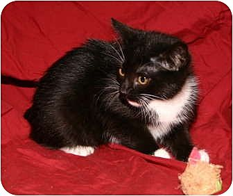 Domestic Shorthair Cat for adoption in Winston-Salem, North Carolina - Collette