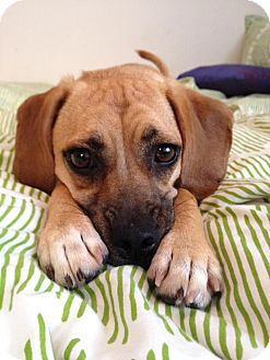 Pug/Beagle Mix Puppy for adoption in Poway, California - Cagney