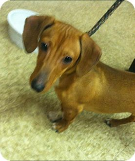 Dachshund Puppy for adoption in Chicago, Illinois - Parker