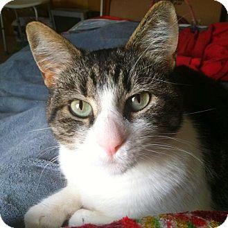 Domestic Shorthair Cat for adoption in Bentonville, Arkansas - Coconut Cookie