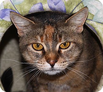 Domestic Shorthair Cat for adoption in North Branford, Connecticut - Magic