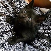 Domestic Shorthair Kitten for adoption in Austin, Texas - Pancho
