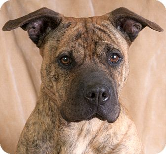 Shar Pei/Terrier (Unknown Type, Medium) Mix Dog for adoption in Chicago, Illinois - Penny