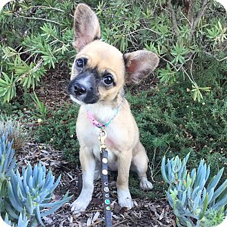 Pug/Shiba Inu Mix Puppy for adoption in santa monica, California - Nog
