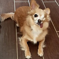 Chihuahua Mix Dog for adoption in Johnson City, Tennessee - Bambi
