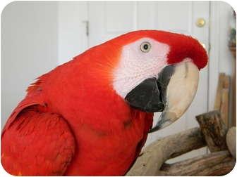 Macaw for adoption in Punta Gorda, Florida - Jazz