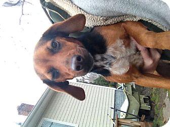 Beagle/Dachshund Mix Dog for adoption in selden, New York - Daisy