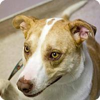 Adopt A Pet :: Mitt - Scottsdale, AZ