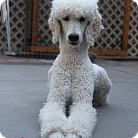 Adopt A Pet :: Seger (Courtesy Listing) - Gig Harbor, WA