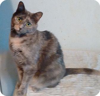 Domestic Shorthair Cat for adoption in Morganton, North Carolina - Julie