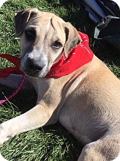 Labrador Retriever Mix Puppy for adoption in Fort Collins, Colorado - Colby
