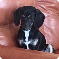 Adopt A Pet :: DIONNE - Higley, AZ