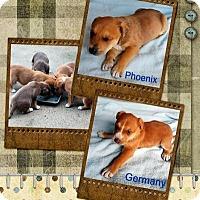 Adopt A Pet :: Tucson's Puppies (Boys) - Quinlan, TX