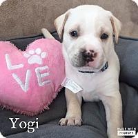 Adopt A Pet :: Yogi - Summerville, SC