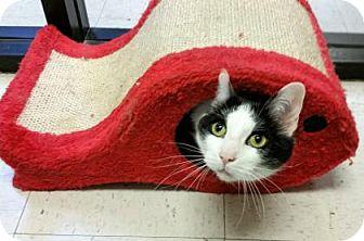 Domestic Shorthair Cat for adoption in Encinitas, California - Joey