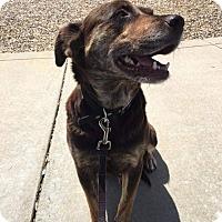 Australian Cattle Dog/Labrador Retriever Mix Dog for adoption in Concord, California - Hallie