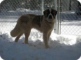 St. Bernard Dog for adoption in Sudbury, Massachusetts - BUFORD