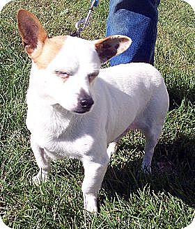 Chihuahua Mix Dog for adoption in Germantown, Maryland - Parson