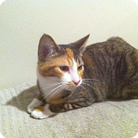 Calico Cat for adoption in Indianapolis, Indiana - Sasha