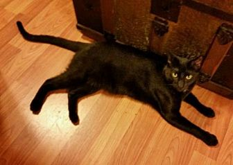 Domestic Shorthair Cat for adoption in Cherry Valley, California - Claudius