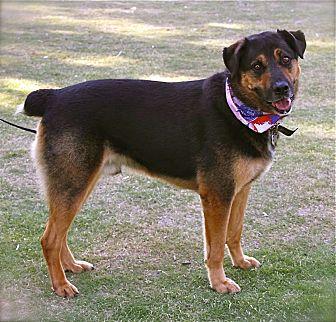 Rottweiler/German Shepherd Dog Mix Dog for adoption in Los Angeles, California - Super handsome Shadow-VIDEO
