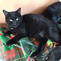 Domestic Shorthair Cat for adoption in Warren, Michigan - Felix