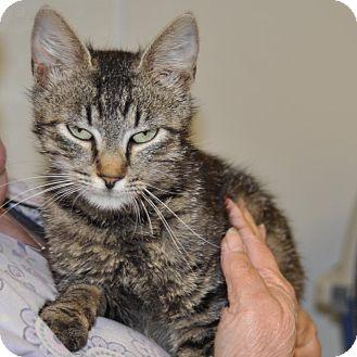 Domestic Shorthair Cat for adoption in Sunrise Beach, Missouri - Sootie