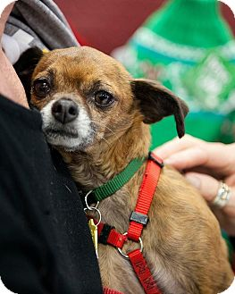 Chihuahua/Terrier (Unknown Type, Small) Mix Dog for adoption in Tijeras, New Mexico - Hutch