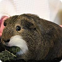 Adopt A Pet :: Mister - Seattle, WA