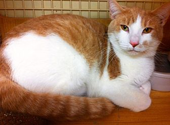 Domestic Shorthair Cat for adoption in Tampa, Florida - Creamy