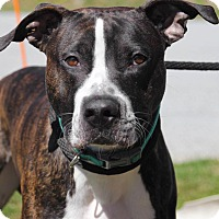 Adopt A Pet :: Cain - Downingtown, PA