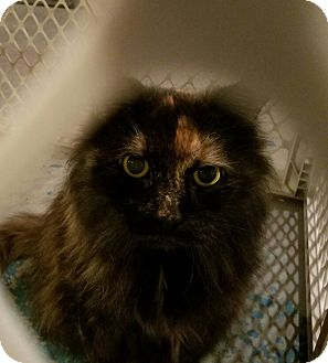 Domestic Longhair Cat for adoption in Geneseo, Illinois - Tancy