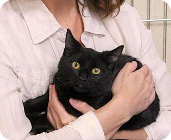 Domestic Shorthair Cat for adoption in Encinitas, California - Lucas