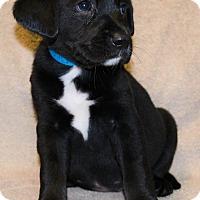 Adopt A Pet :: Misty - Bellevue, NE