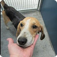 Adopt A Pet :: Duke (aka Hansel) - Alexandria, VA