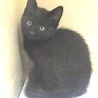 Domestic Mediumhair Kitten for adoption in Lincolnton, North Carolina - Snapdragon $20