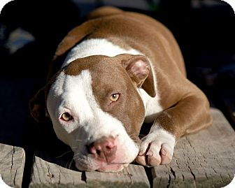 Pit Bull Terrier Puppy for adoption in Houston, Texas - Georgina