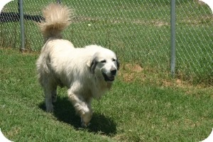 Great Pyrenees Mix Dog for adoption in Quinlan, Texas - Brewster