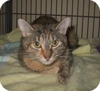 Domestic Shorthair Cat for adoption in Shelton, Washington - Adrea