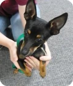 Chihuahua/Miniature Pinscher Mix Puppy for adoption in Richmond, Virginia - Paco