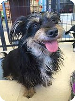 Terrier (Unknown Type, Small) Mix Dog for adoption in Las Vegas, Nevada - Precious