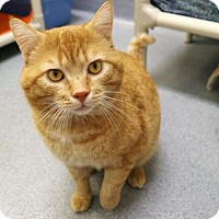 Domestic Shorthair Cat for adoption in Bellevue, Washington - Taylor